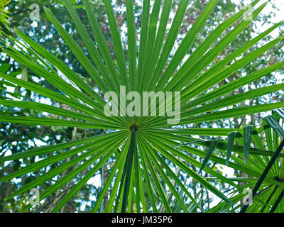 Trachycarpus fortunei leaf in detail at a French Country  House garden - Stock Image