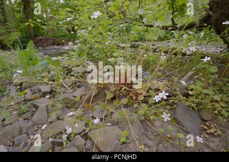 Montia sibirica, Pink Purslane on a riverbank, Wales, UK - Stock Image