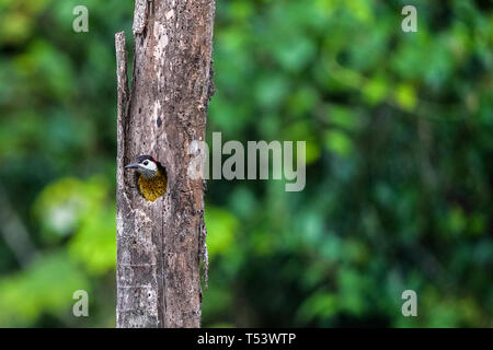 Spot-Breasted Woodpecker, Colpates punctigula - Stock Image