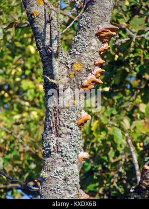 Lot of musrooms and moss are growing on old apple tree trunk - Stock Image
