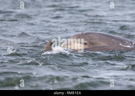 Juvenile bottlenose dolphin (Tursiops truncatus) surfacing next to its mum in the Moray Firth, Chanonry Point, Scotland, UK - Stock Image