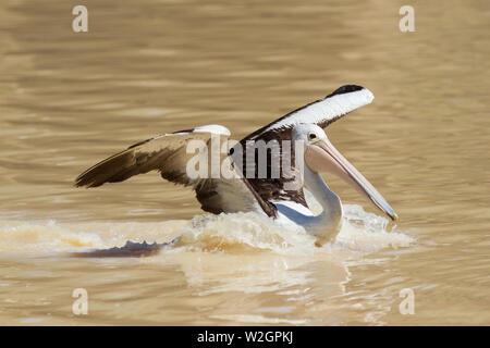 Australian Pelican landing on water - Stock Image
