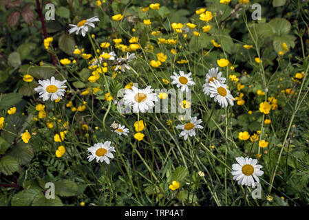 Oxeye daisies and buttercups growing by the cycle track that runs in and around Edinburgh, Scotland, UK. - Stock Image