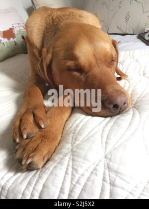 A tired and sleeping dog resting its head on it paws whilst asleep on a comfy bed - Stock Image
