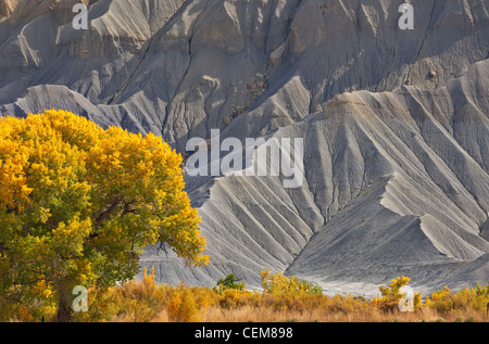 Golden cottonwood tree and grey cliffs of Mancos Shale at South Caineville Mesa, along Highway 24 west of Hanksville, - Stock Image