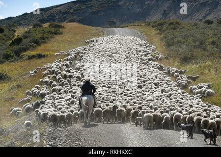 Gaucho on horseback drives huge flocks of sheep, between Porvenier and Ushuaia, Tierra del Fuego, Tierra del Fuego, Argentina - Stock Image