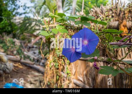 Blue bougainvillea flower in a garden - Stock Image