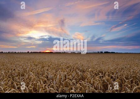 Summer, Field, Grain, Sunset, Saxony, Leipzig, Germany, Europe - Stock Image