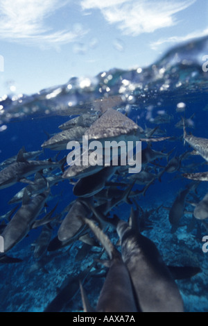 Schooling Grey Reef Sharks at Bikini Atoll - Stock Image