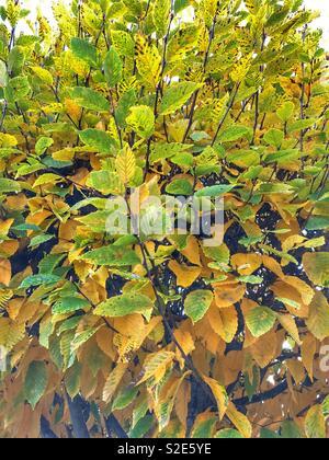 Autumn leaves on tree - Stock Image