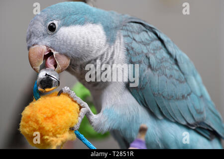 Close up of blue Quaker Parrot pet bird chewing on a metal bell not recommended for such birds - Stock Image