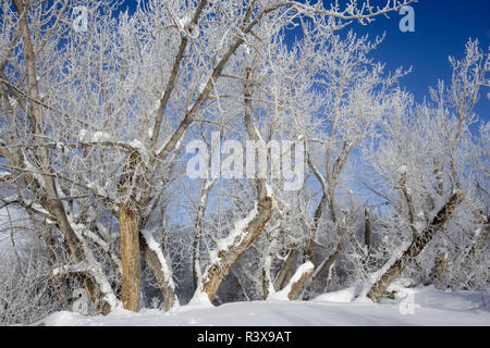 USA, California, Sierra Nevada Mountains. Icy trees in winter. - Stock Image