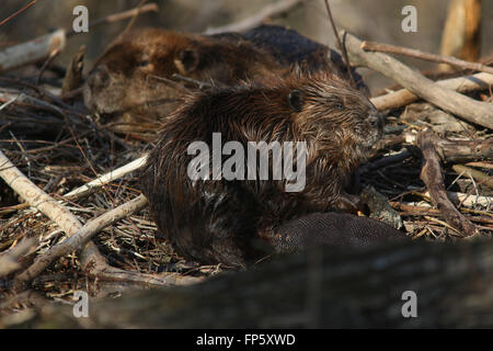 Beaver on lodge in Ohio Wetland - Stock Image