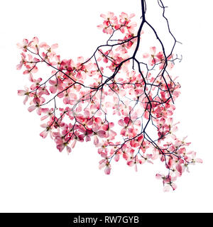 Pink Dogwood Blossoms on Tree Branch against White Background - Stock Image