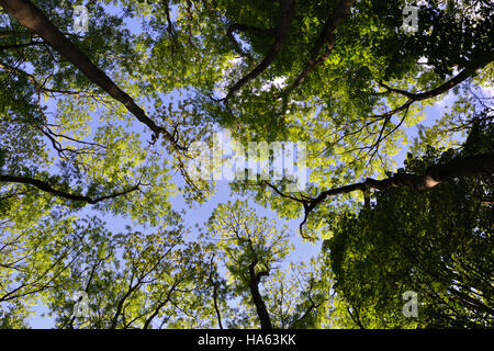 Looking up through a canopy of trees to a blue sky - Stock Image