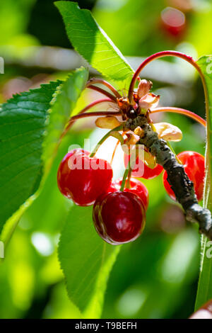 New harvest of sweet red cherry in garden in sunny day - Stock Image