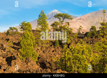 Looking towards Teide and Pico Viejo Volcanoes from the native pine forest at Chio de Bajada, Tenerife, with oxidised - Stock Image