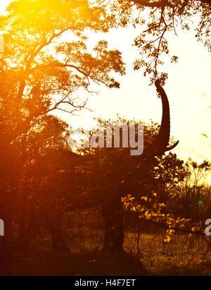 Silhouette of the big wild elephant eating tree foliage in mild yellow sunset light, safari game drive, Eco travel - Stock Image