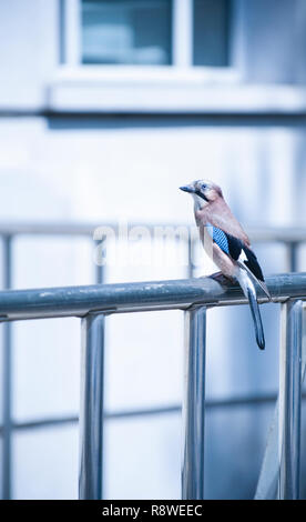 Jay or Eurasian Jay, Garrulus glandarius, perched on railings outside Woolworths building, Marylebone Road, London, United Kingdom - Stock Image