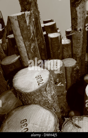 Stacked timber waiting for transport to paper mills. Black and white photograph, tinted sepia. - Stock Image