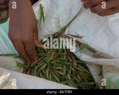 bag of captured katydids (Tettigoniidae) for sale as nsenene snack food, Uganda, Africa - Stock Image