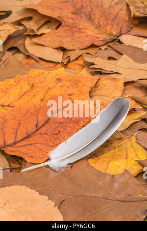 Orange gold Autumnal leaves on ground with small bird's feather. Metaphor autumn years, season's end, later life, retirement, Fall, light as a feather - Stock Image