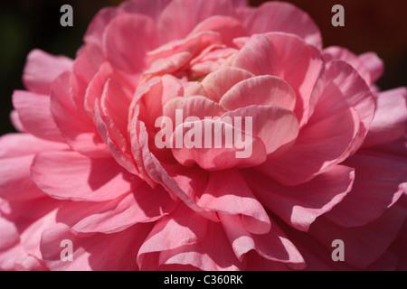 A macro capture of an elegant, pink ranunculus blossom - Stock Image