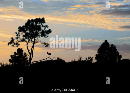 Silhouette of a great blue heron sitting on a tree branch at sunset in Grayton Beach State Park in the panhandle of the Florida gulf coast, US A. - Stock Image