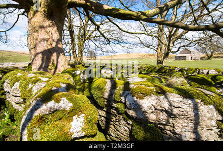 Moss covers boulders beneath a large tree and next to agricultural land with sheep grazing. Peak District, England. - Stock Image