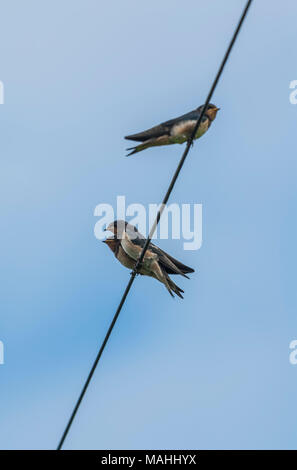 Barn Swallows on powerline, Cheshire, UK - Stock Image