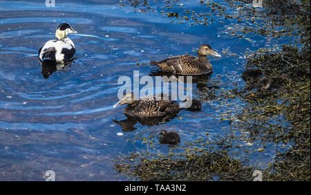 Eider ducks and ducklings - Stock Image