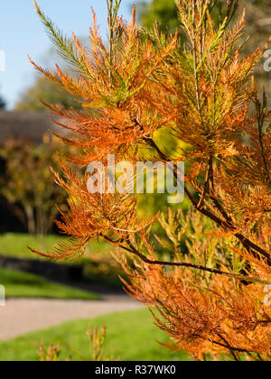 Autumn colour in the needle like leaves of the Chinese swamp cypress, Glyptostrobus pensilis - Stock Image