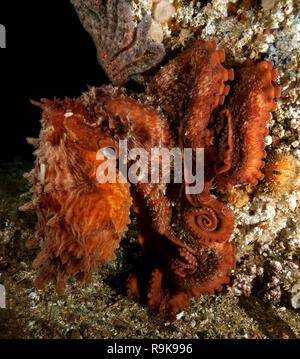 Giant Pacific Octopus, Enteroctopus dofleini - Stock Image