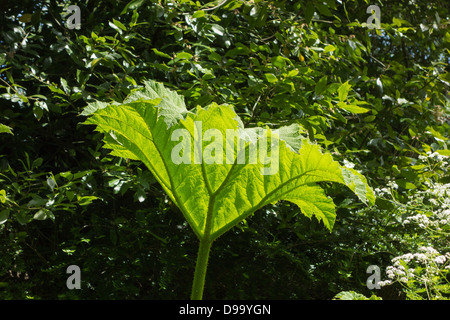 Gunnera herbaceous plant - Stock Image