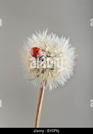 ladybug on dandelion - Stock Image