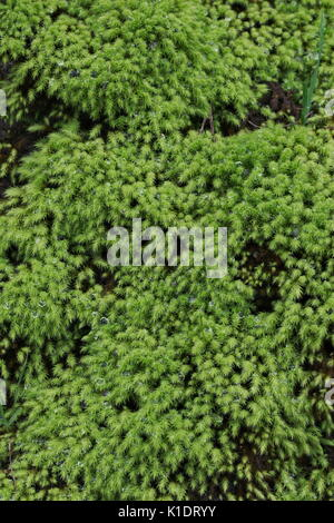 Sagina subulata 'Aurea' or Scotch moss, lush and green with water drops after rain. - Stock Image