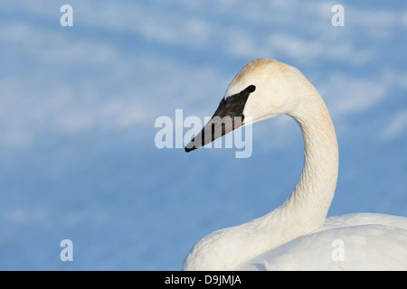 Trumpeter Swan (Cugnus buccinator) in winter - Minnesota, USA. - Stock Image