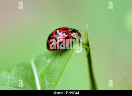 Harlequin Ladybird Beetle, Harmonia axyridis, Coccinellidae, Coleoptera - Stock Image