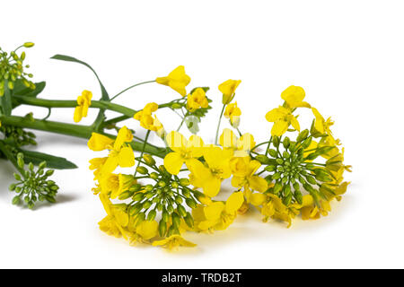 Hedge mustard (Sisymbrium officinale) isolated on white background - Stock Image