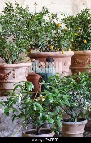 The Medici Villa di Castello (Villa Reale), Sesto Fiorentino, Florence, Italy. A gardener waters lemon trees in a limonaia (lemon house or orangerie) - Stock Image