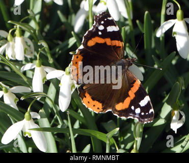 Spring in February! A Red Admiral butterfly (Vanessa atalanta) emerges from hibernation on an unseasonable warm February day to feed on snowdrop flowe - Stock Image
