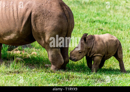 A white baby rhino and its mother. - Stock Image