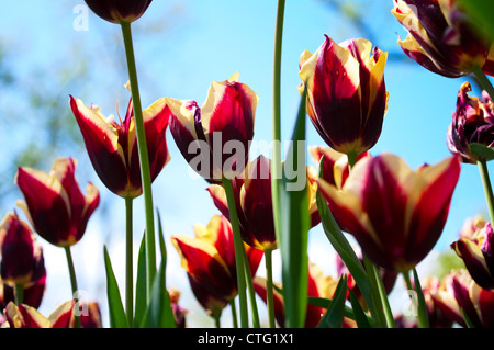 fresh tulips with blue sky - Stock Image