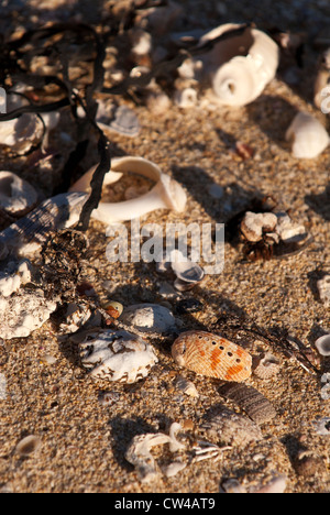 Shells and seaweed washed up on Moses Rock Beach, Western Australia - Stock Image