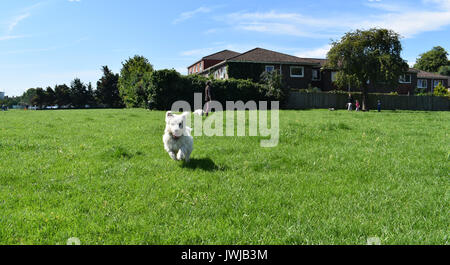 Leaping West Highland Terrier jumps for joy. Image captures the dog in mid leap, with all four paws off the ground. - Stock Image