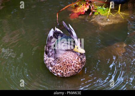 Front View Of An American Black Duck Latin Name Anas rubripes - Stock Image