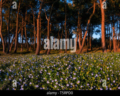 forest with flowers at spring in La Galea in Getxo - Stock Image