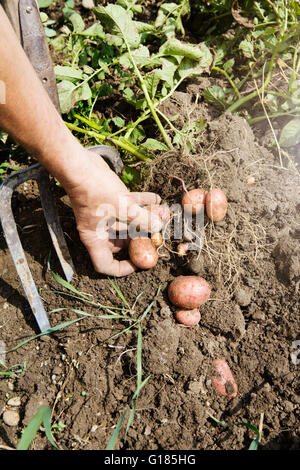 Farmer harvesting potatoes in organic farm - Stock Image