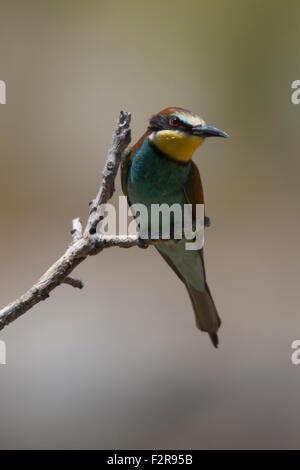 European Bee-eater - Stock Image