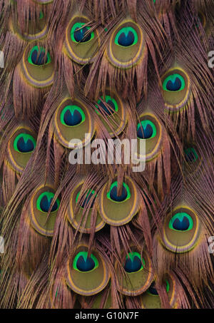 Peacock feathers abstract - Stock Image